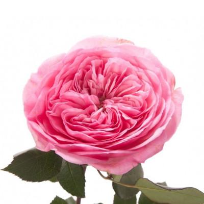Пионовидная роза Остина